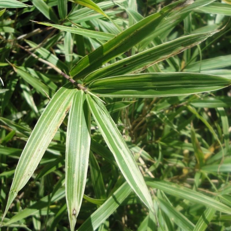 Vente en ligne de Bambou nain 0