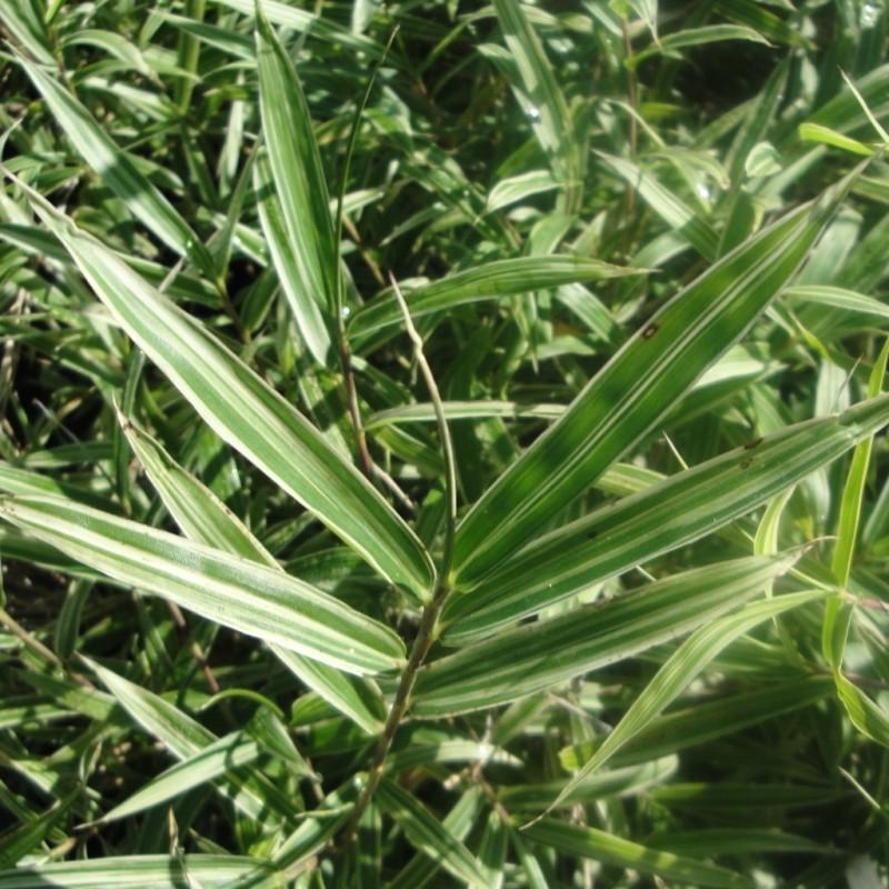 Vente en ligne de Bambou nain 1