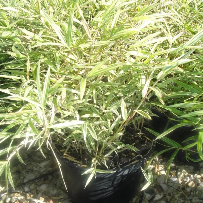 Vente en ligne de Bambou nain 2
