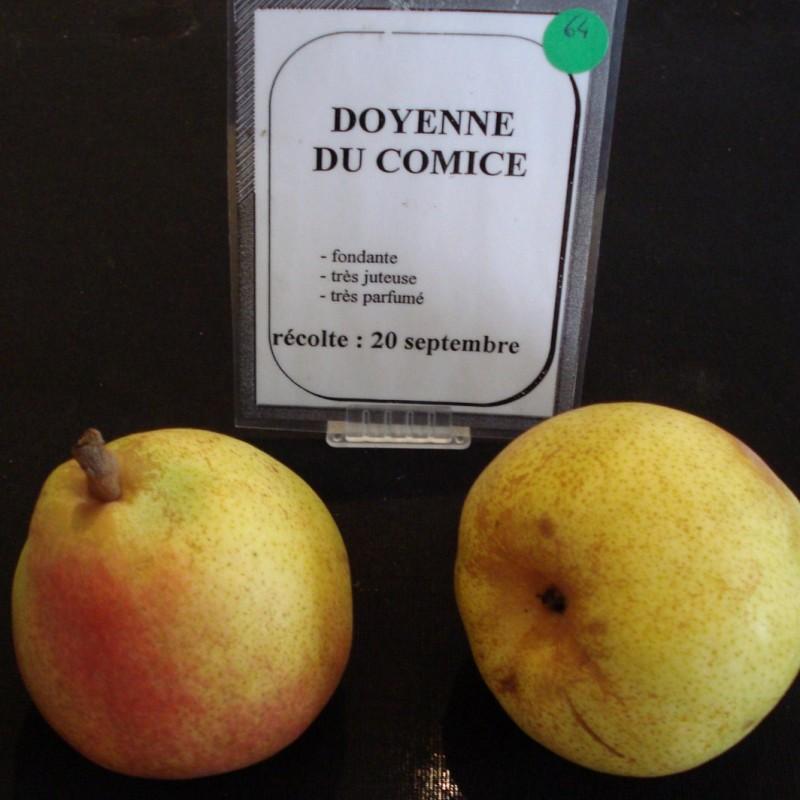 Vente en ligne de POIRIER - Pyrus communis 'Doyenne du comice' 1
