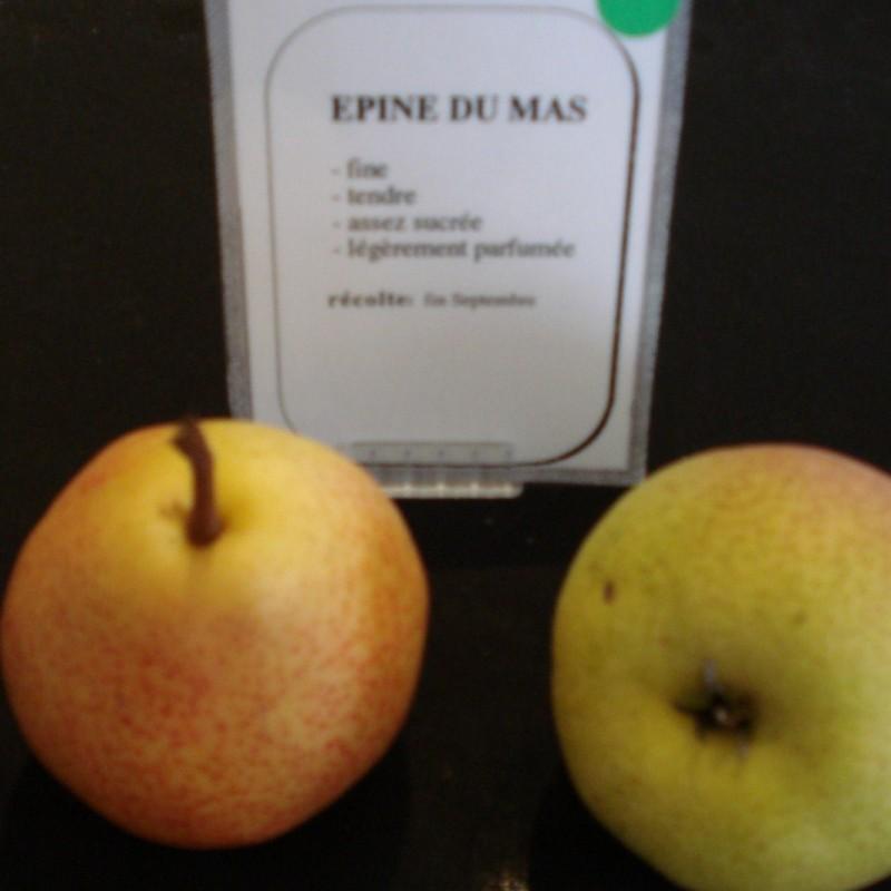 Vente en ligne de POIRIER - Pyrus communis 'Epine du Mas' 1