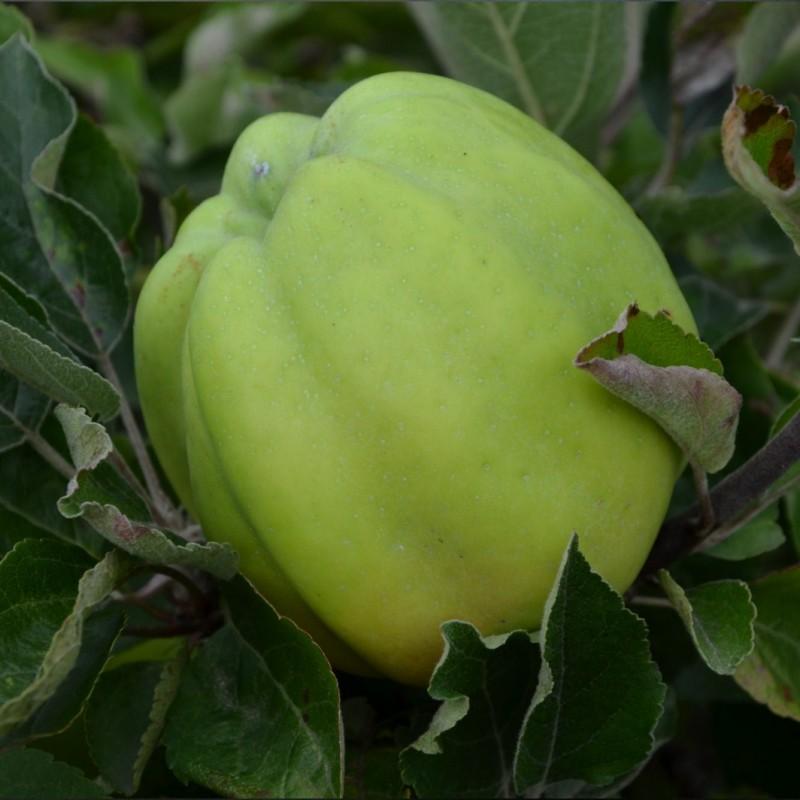 Vente en ligne de POMMIER - Malus communis 'Belle fleur jaune' 0