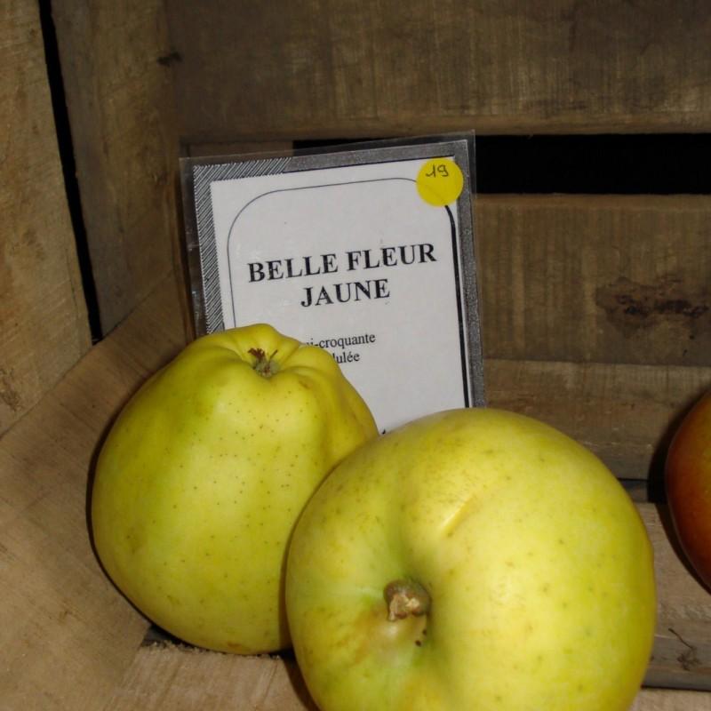 Vente en ligne de POMMIER - Malus communis 'Belle fleur jaune' 1