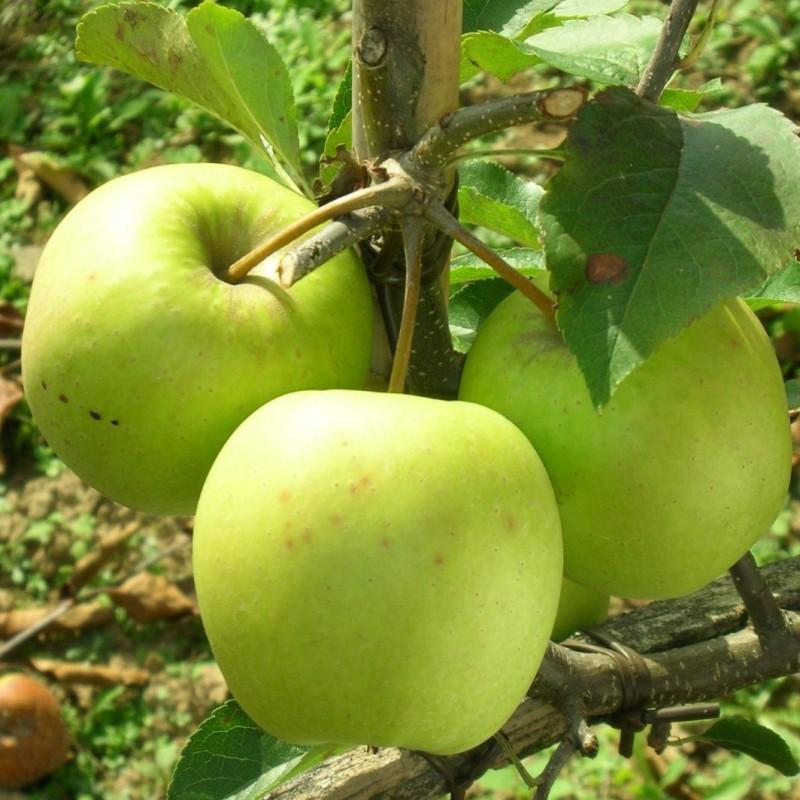 Vente en ligne de POMMIER - Malus communis 'Golden delicious' 1