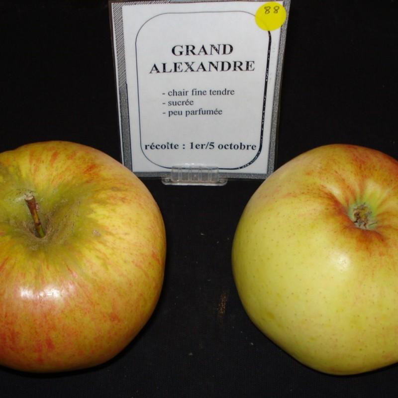 Vente en ligne de POMMIER - Malus communis 'Grand alexandre' 1
