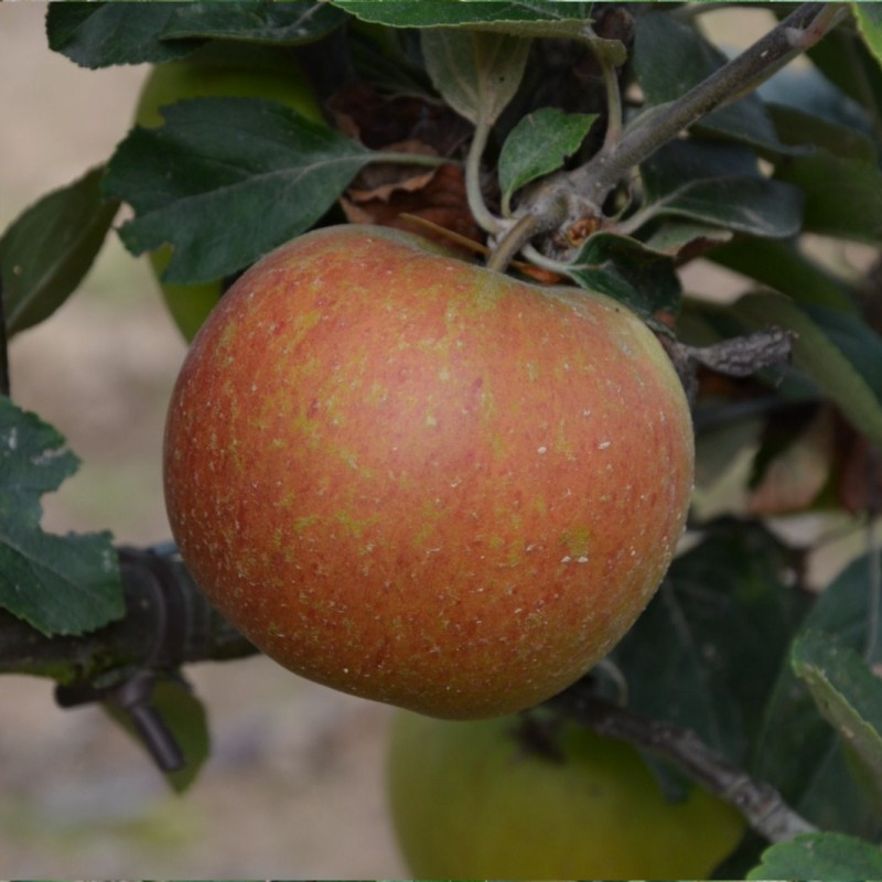 Vente en ligne de POMMIER - Malus communis 'Kids orange red' 0