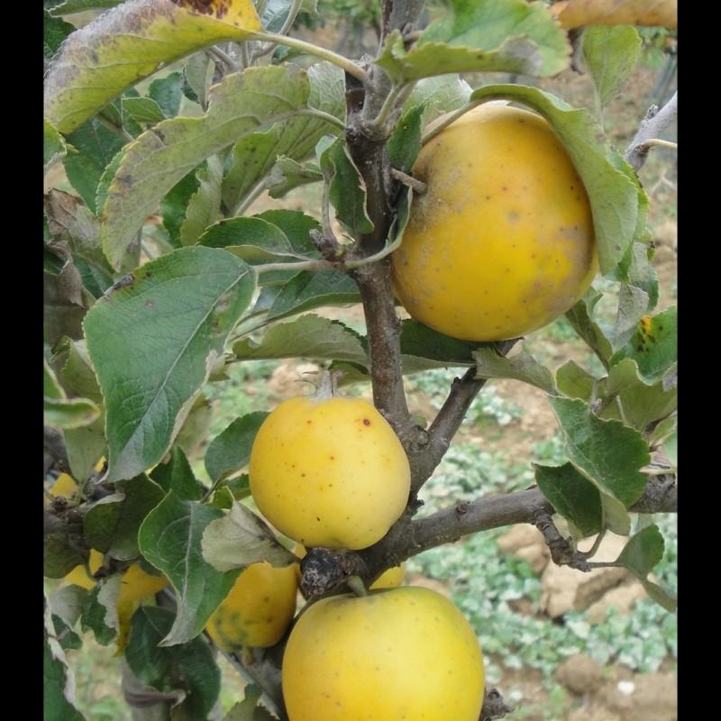 Vente en ligne de POMMIER - Malus communis 'Reinette Ananas' 1