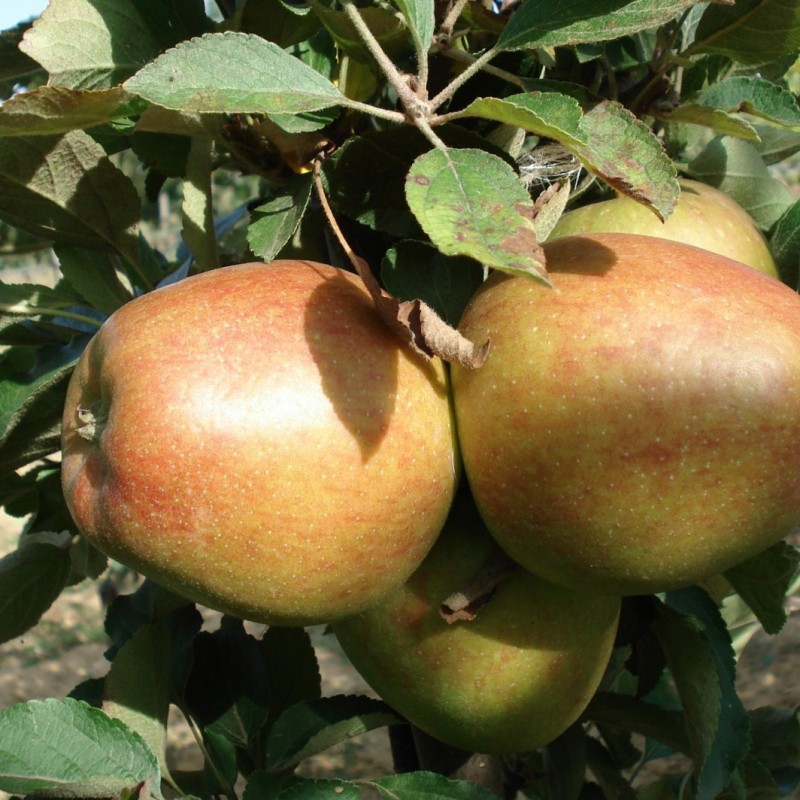 Vente en ligne de POMMIER - Malus communis 'Top red' 1