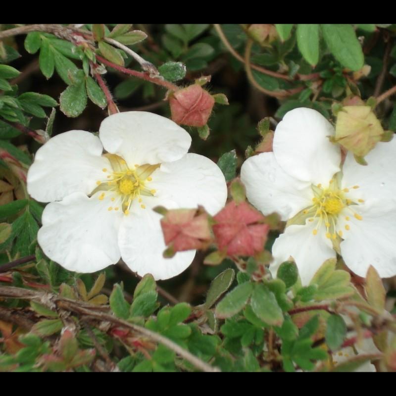 Vente en ligne de Potentille blanche 'Abbotswood' 4