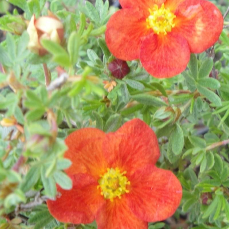 Vente en ligne de Potentille rouge Marian Red Robin® 0