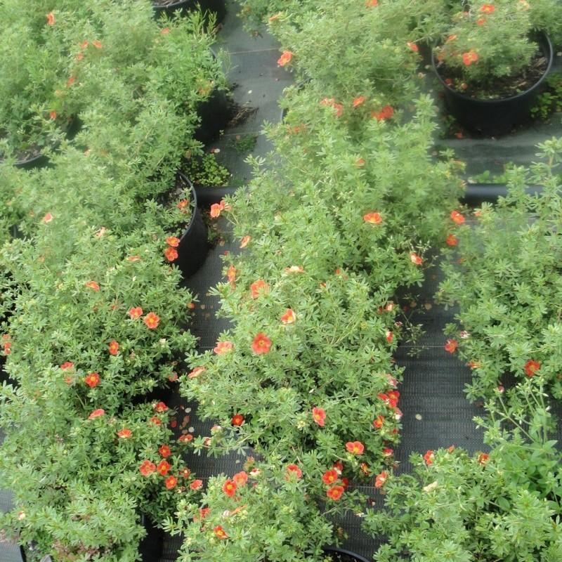 Vente en ligne de Potentille rouge Marian Red Robin® 1