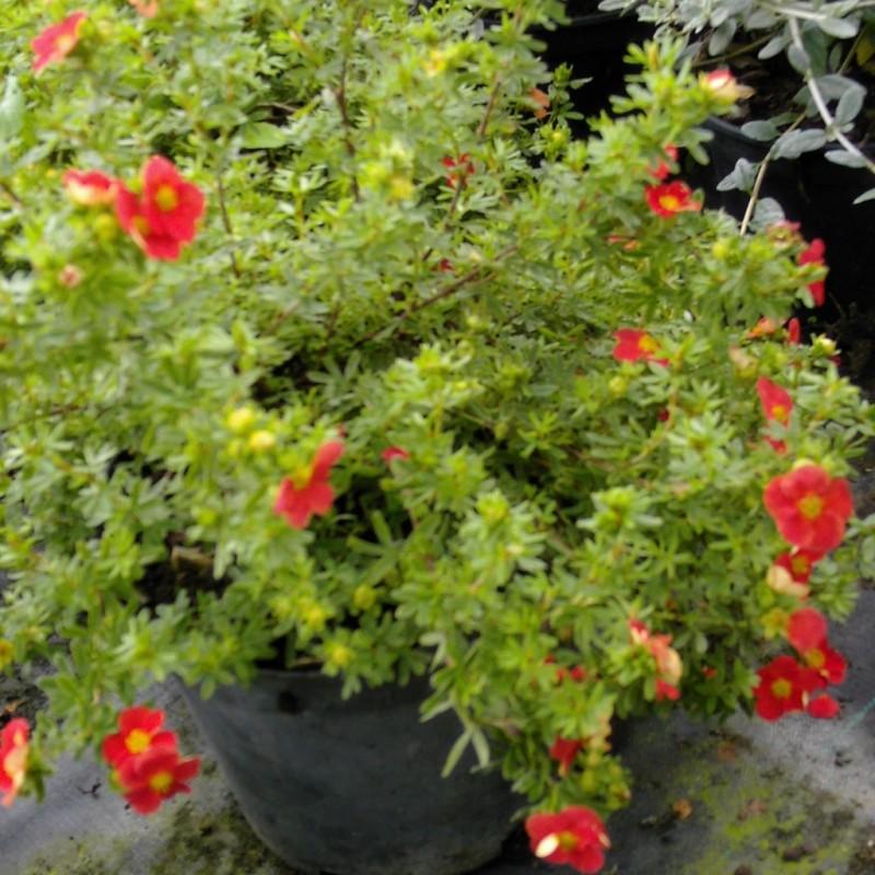 Vente en ligne de Potentille rouge Marian Red Robin® 2