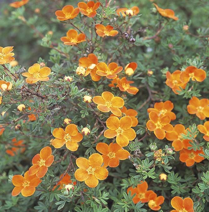 Vente en ligne de Potentille orange 'Hopley's Orange' 0