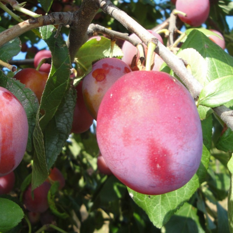 Vente en ligne de PRUNIER - Prunus domestica 'Bonne de Brie' 0