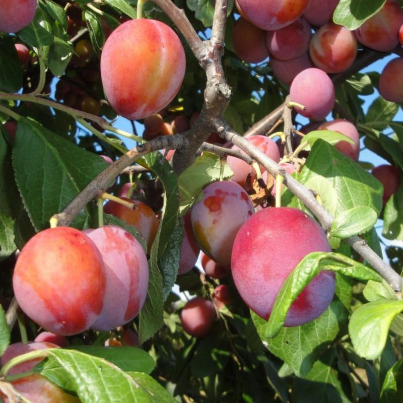 Vente en ligne de PRUNIER - Prunus domestica 'Bonne de Brie' 1
