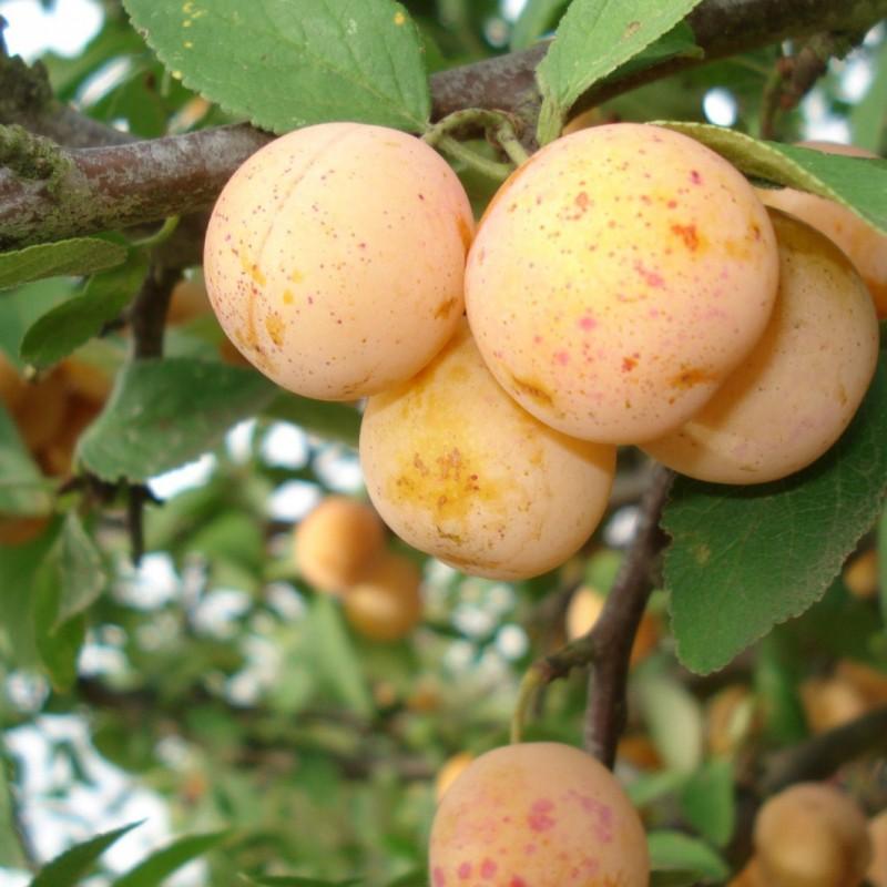 Vente en ligne de PRUNIER - Prunus domestica 'Mirabelle de Metz' 1