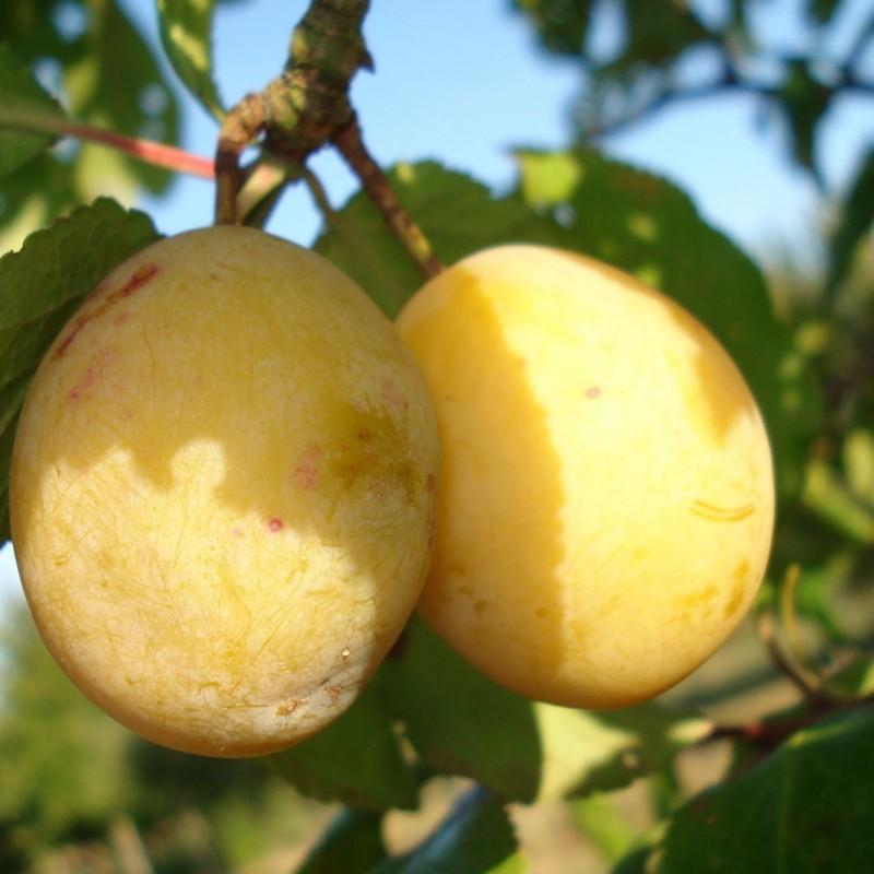 Vente en ligne de PRUNIER - Prunus domestica 'Sainte Catherine' 1