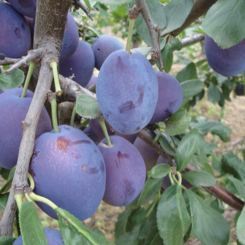 Vente en ligne de PRUNIER - Prunus domestica 'Stanley' 1