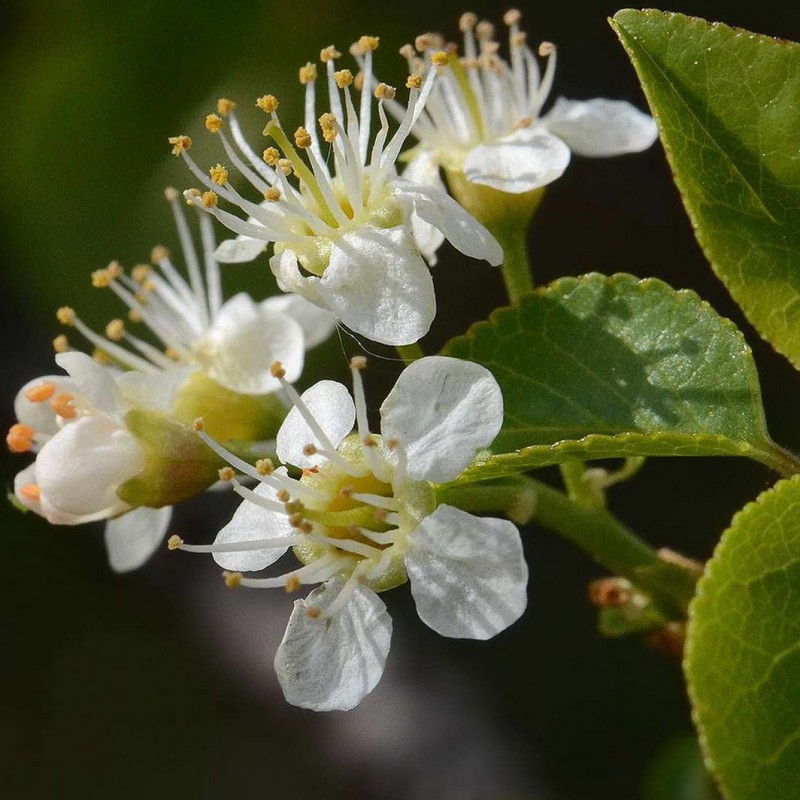 Vente en ligne de Cerisier de Sainte Lucie 0