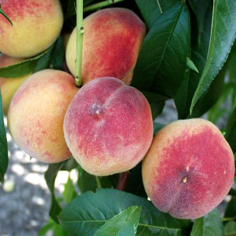 Vente en ligne de PECHER - Prunus persica 'Earliglo' 0