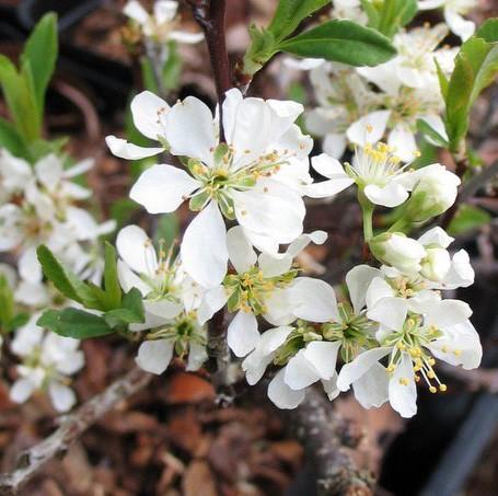 Vente en ligne de Cerisier rampant fleurs blancs 0