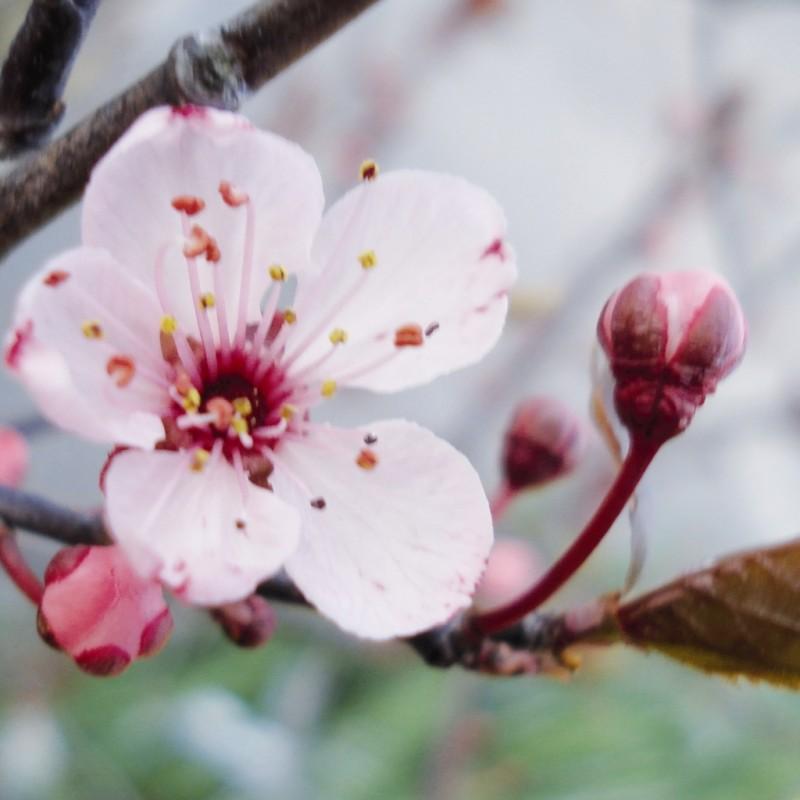 Vente en ligne de Prunier à fleur 'Pissardii' 0