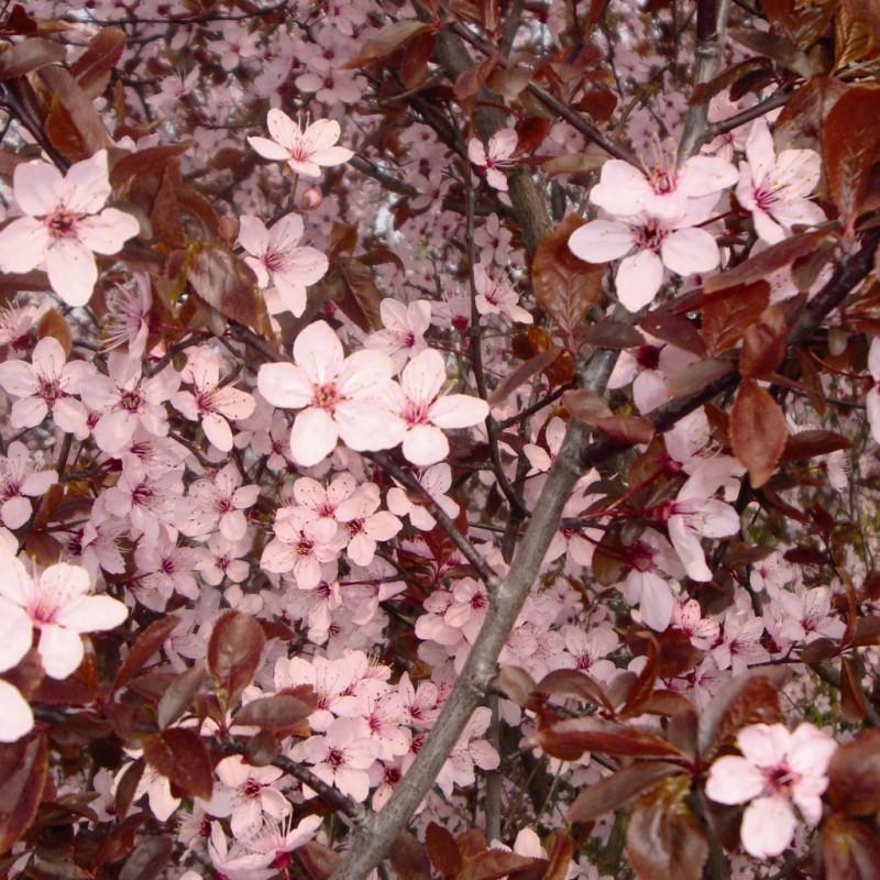 Vente en ligne de Prunier à fleur 'Pissardii' 1