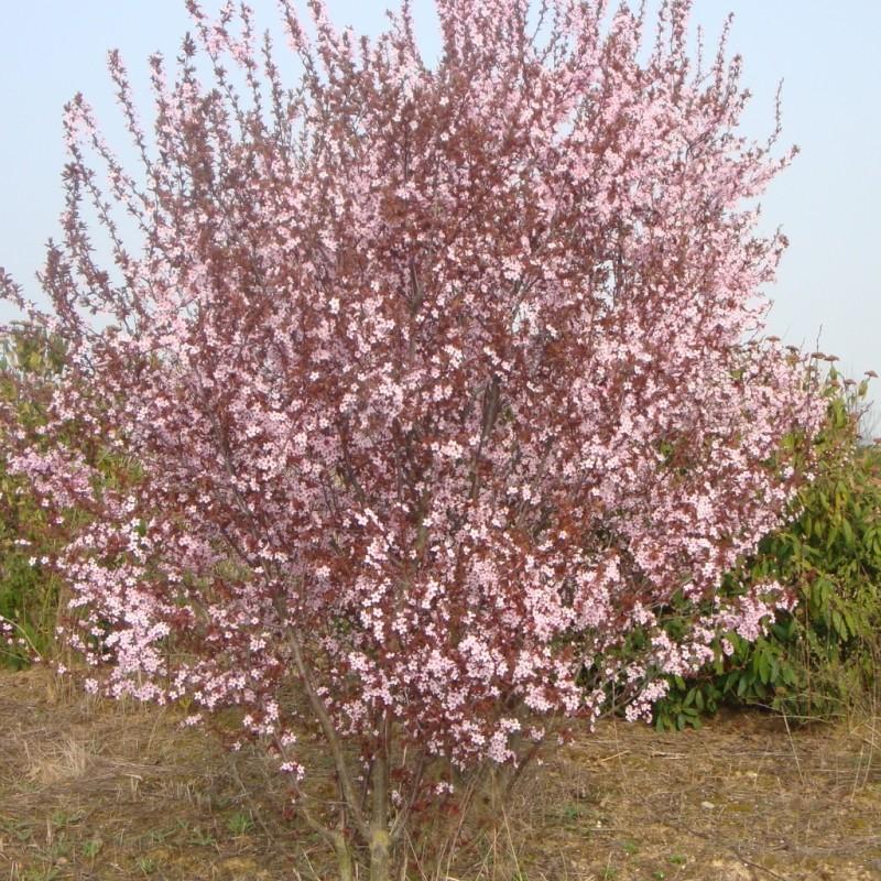 Vente en ligne de Prunier à fleur 'Pissardii' 2
