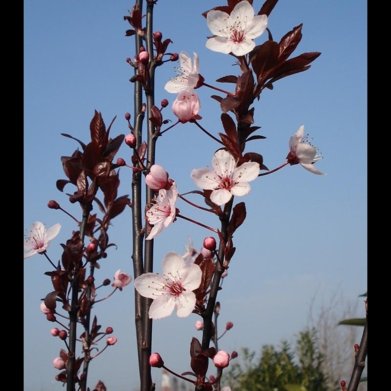 Vente en ligne de Prunier à fleur 'Pissardii' 3