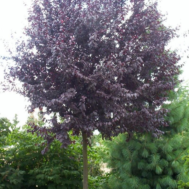 Vente en ligne de Prunier à fleur 'Pissardii' 5