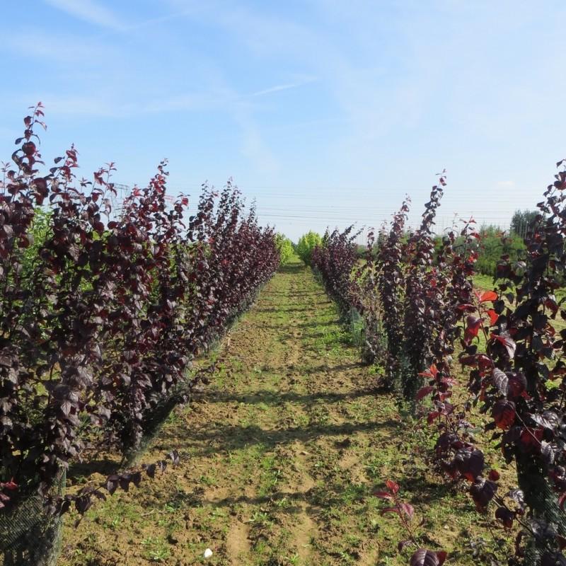 Vente en ligne de Prunier à fleur 'Pissardii' 6