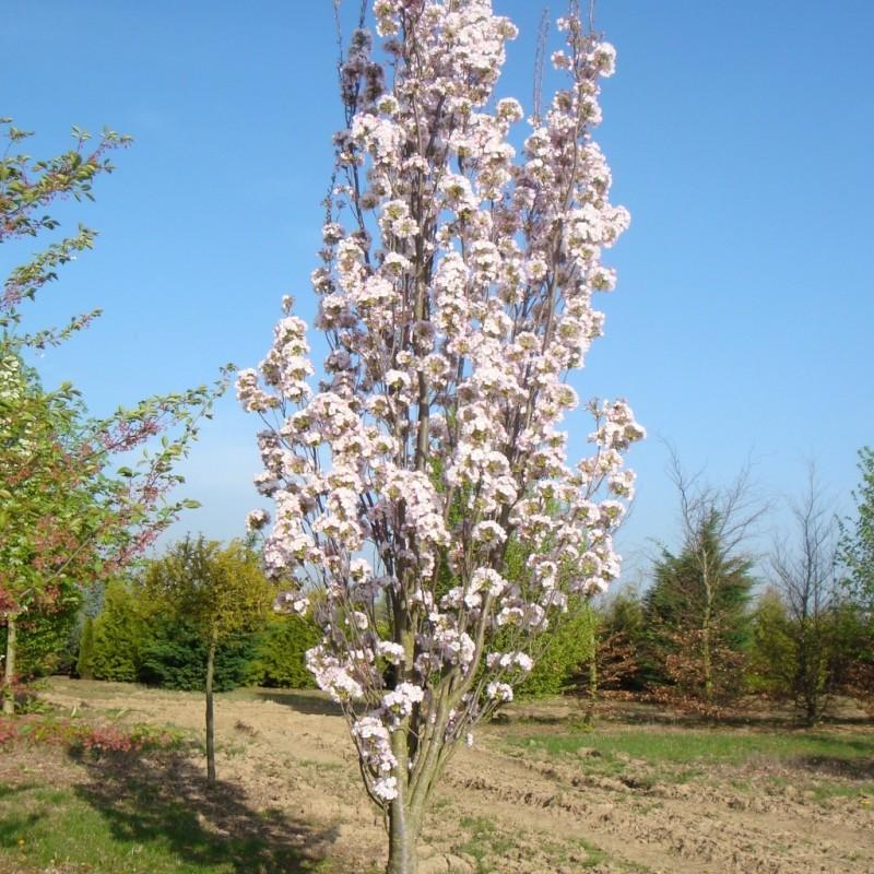 Vente en ligne de Cerisier à fleurs 'Amanogawa' 1