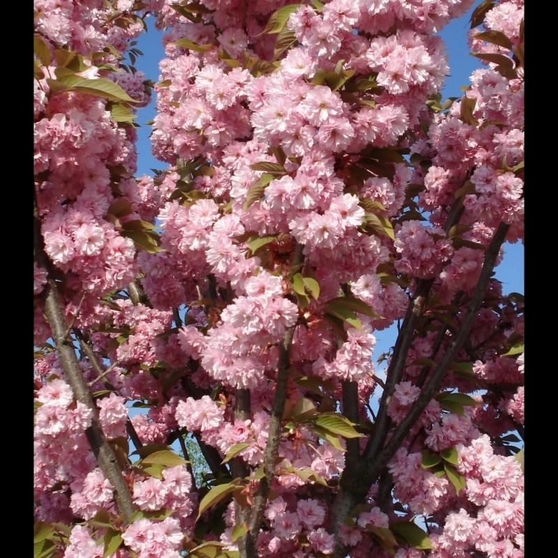 Vente en ligne de Cerisier à fleurs 'Kanzan' 0