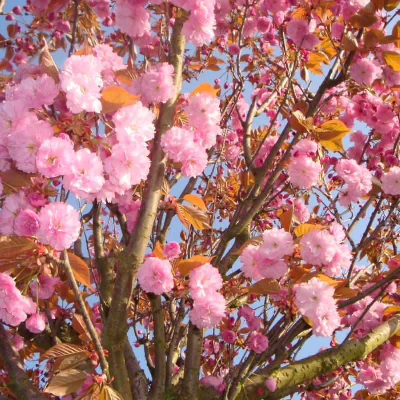Vente en ligne de Cerisier à fleurs 'Kanzan' 1