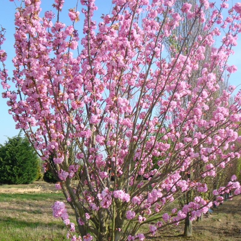Vente en ligne de Cerisier à fleurs 'Kanzan' 2