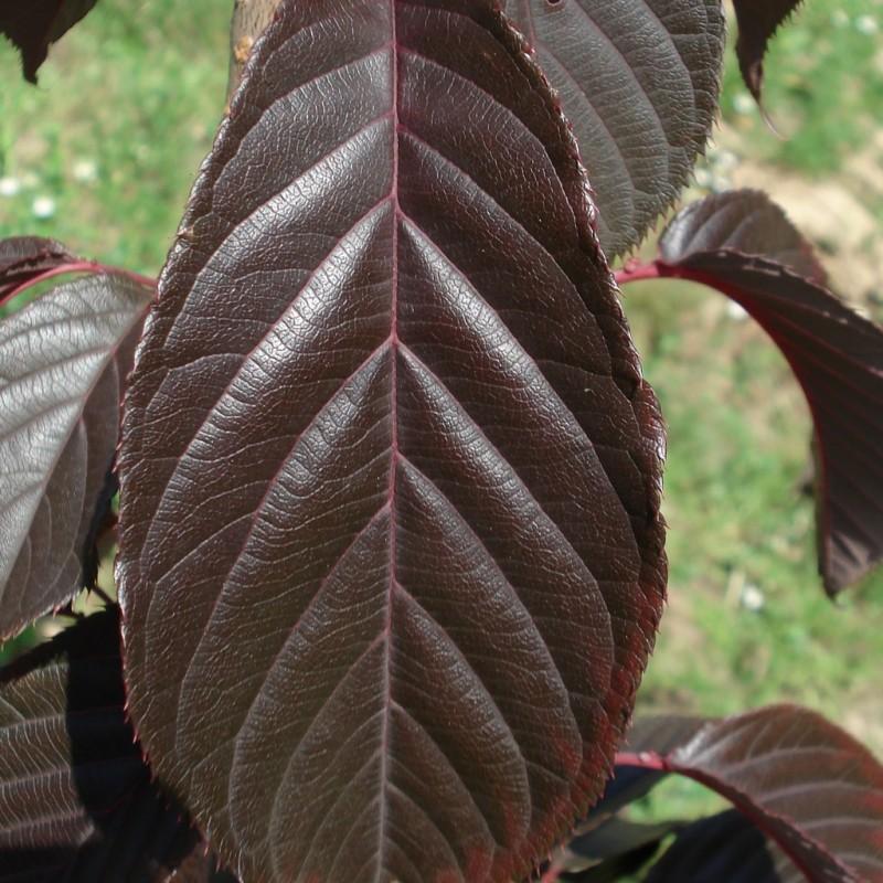 Vente en ligne de Cerisier à fleurs 'Royal Burgundi' 0