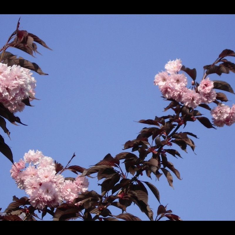 Vente en ligne de Cerisier à fleurs 'Royal Burgundi' 1