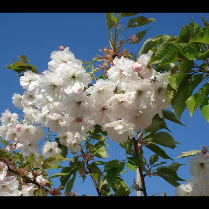 Vente en ligne de Cerisier à fleurs 'Shirotae' 0