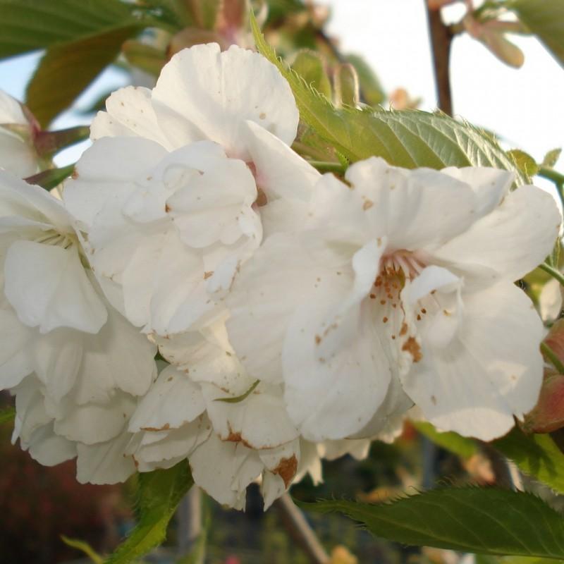 Vente en ligne de Cerisier à fleurs 'Shirotae' 1