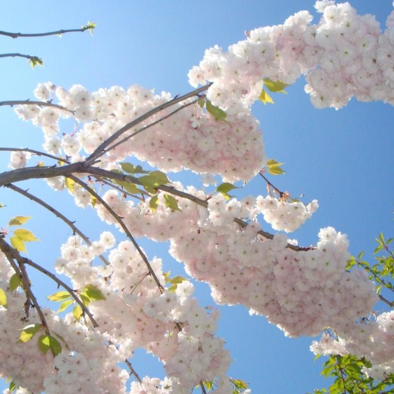 Vente en ligne de Cerisier à fleurs 'Shirotae' 2