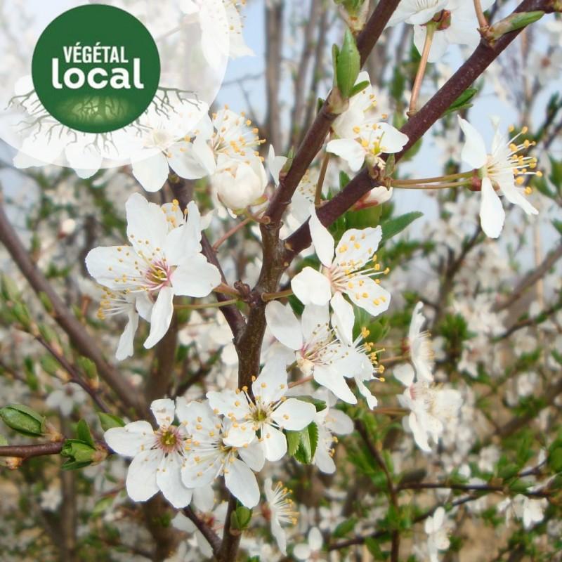 Vente en ligne de Prunus-spinosa-2 0