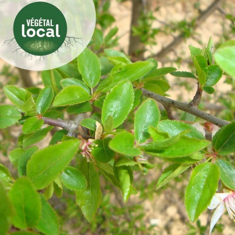 Vente en ligne de Prunus-spinosa-2 2