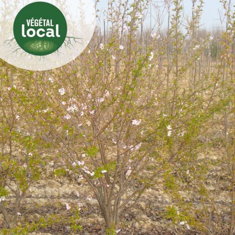 Vente en ligne de Prunus-spinosa-2 1