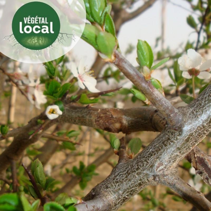 Vente en ligne de Prunus-spinosa-2 3