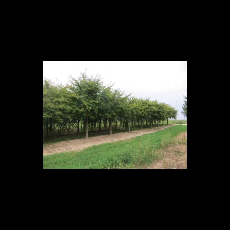 Vente en ligne de Cerisier à fleurs 'Automnalis Rosea' 0