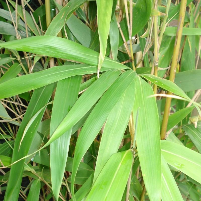 Vente en ligne de Bambou japonais 0