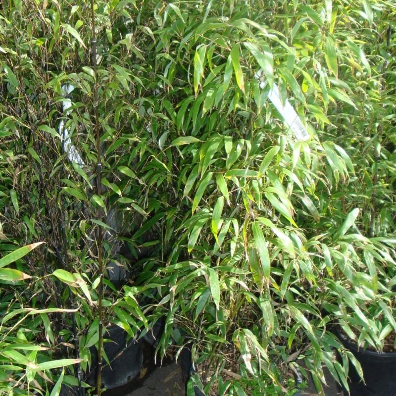 Vente en ligne de Bambou japonais 1