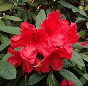 Vente en ligne de Rhododendron nain rouge 0
