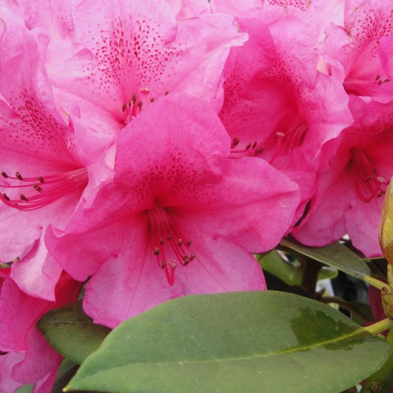 Vente en ligne de Rhododendron à fleurs roses 1