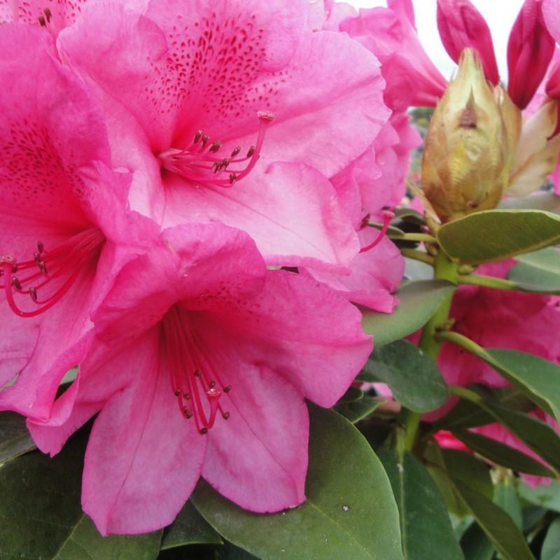 Vente en ligne de Rhododendron à fleurs roses 2